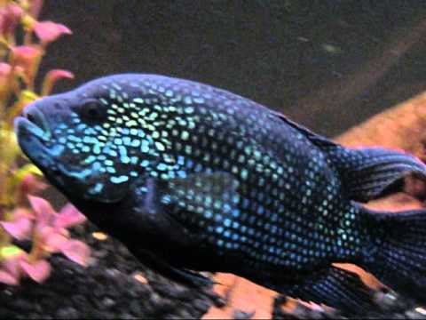 75 gallon american cichlid tank male jack dempsey for Jack dempsy fish