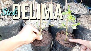 Cara Stek Delima