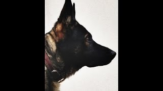 German Shepherd 101 | All About German Shepherd Breed