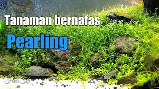 Download Video TANAMAN HC CUBA BERNAFAS (PEARLING) MP3 3GP MP4