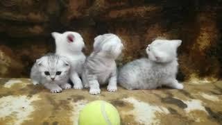 Шотландские котята Тула