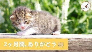 駐車場で保護された1匹の子猫🐈 2ヶ月間のお兄ちゃんと過ごした大切な思い出💖【PECO TV】 thumbnail