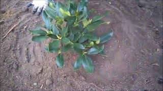Jak sadzić rododendrony /różaneczniki?
