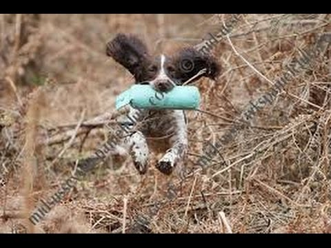 Early retrieve training for gundog pups