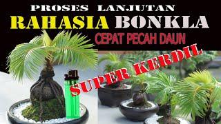 Bonsai kelapa Progaram cepat pecah daun dan kerdil