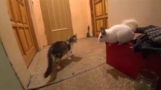 Chinchilla vs Cat. Funny pets video