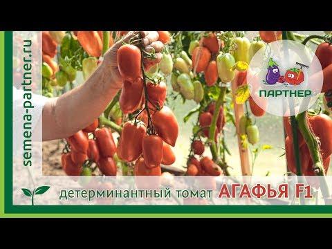 ДЕТЕРМИНАНТНЫЙ ТОМАТ АГАФЬЯ F1 | детерминантный | перецевидные | выращивание | открытого | агрофирма | томатов | тепплиц | томаты | грунта | агафья