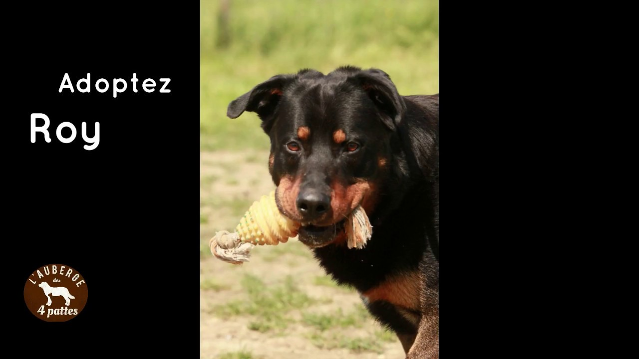 A Adopter Roy 4 Ans Beauceron Youtube
