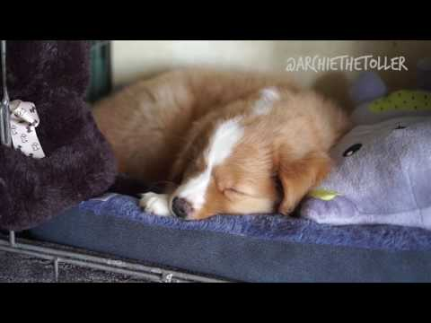 First Days Home At Eight Weeks | Archie The Toller