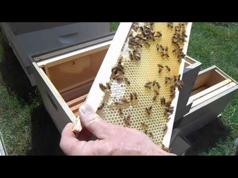 One month old nuc split moved into 10-frame hive thumbnail