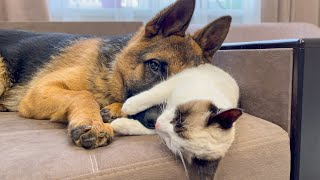How a German Shepherd Puppy shows his love for a Kitten