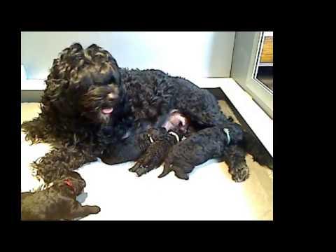 Coronado PWD Puppies Live Stream