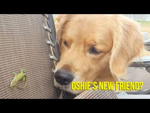 OSHIE THE GOLDEN RETRIEVER LOVES LIZARDS | Oshies World