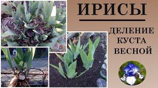 видео Выращивание ирисов в саду (45 фото): из семян, в открытом грунте, на даче, сорта, описание, посадка, подкормка, уход, болезни и борьба с ними