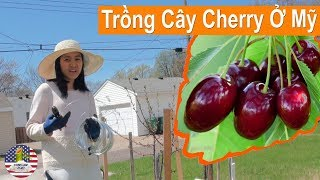 [ Làm vườn ở Mỹ ] Trồng Cây Cherry Ở Mỹ / Người Việt Ở Minnesota - Mỹ / Cherry Plant.