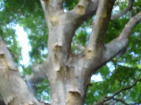 Albizia Tree  Albizia Procera  Hawaii Plant Tropical