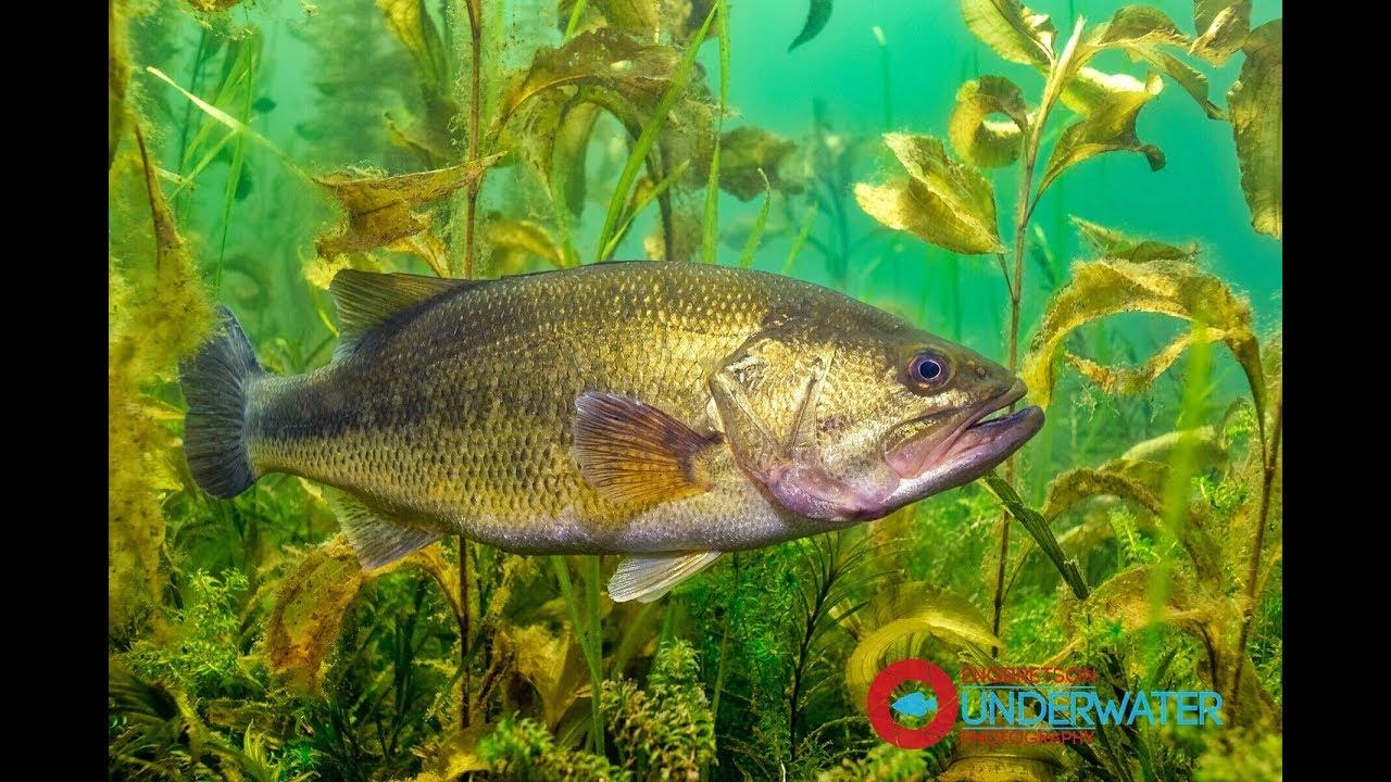 Sixty Seconds Underwater: Episode #3 Largemouth Bass ... Largemouth Bass Pictures Underwater