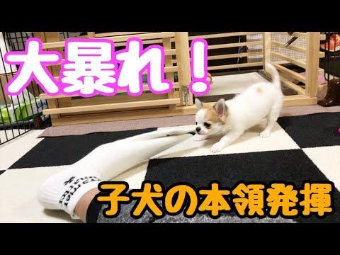 【puppy dog】Vol.7   目にする物を全て噛む子犬として覚醒したチワワ【かわいい犬】【chihuahua】【cute dog】【ペット動画】