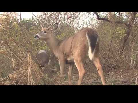Aging Whitetail Deer on the Hoof