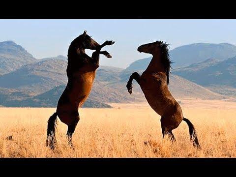Животные мира Дикая лошадь Пустыня Намиб Запад Африки Самая засушливая Особенное место Путь пастбищ - Видео онлайн