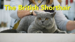 The British Shorthair at a TICA Cat Show
