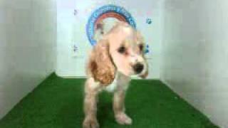 Video Cocker Spaniel Hembra