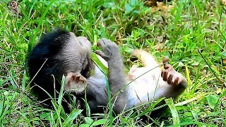 Poor new baby Timo seem tired walk fail | Why mom Timo take care her baby like this?|