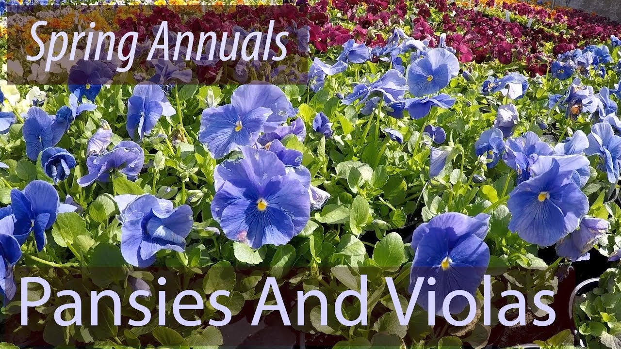 Planting Perfect Pansies In Early Spring Youtube