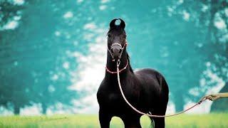 Марвари: самые загадочные лошади в мире