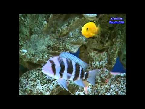 CICHLID DISEASES And Health