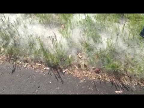 Poplar seeds on the grass
