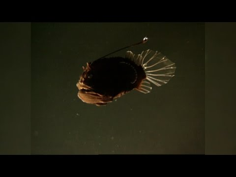 The Female Angler Fish's Strangest Appendage: The Male Angler Fish