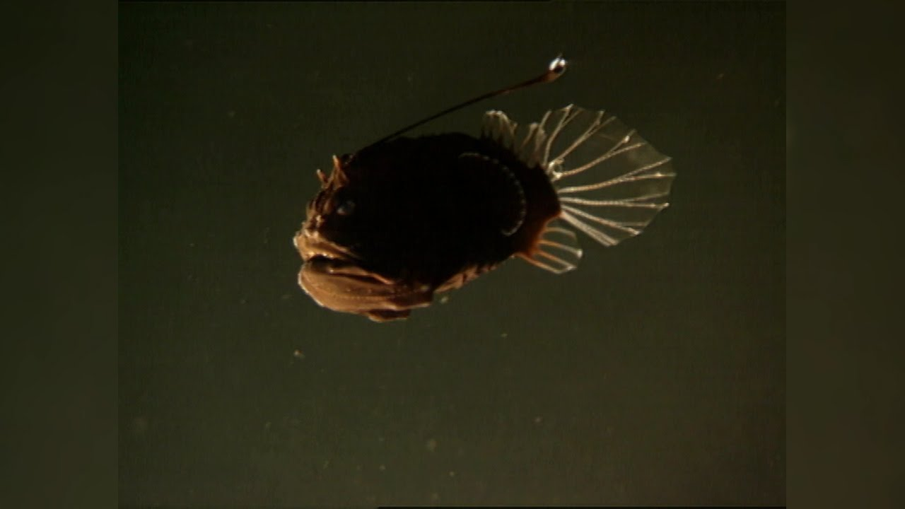 The Female Angler Fish's Strangest Appendage: The Male ...