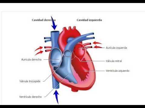 El Corazón y su sistema Circulatorio - YouTube