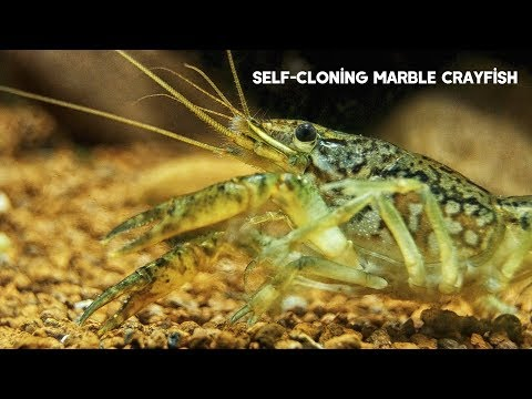 Self-Cloning Marble Crayfish | All About