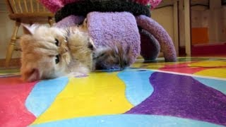 12 10 17 Beautiful Persian kitty, Sahara, a kitten at heart