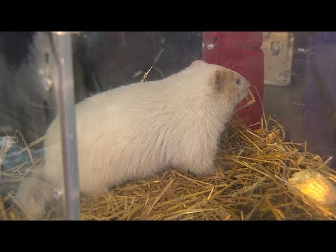 Wiarton Willie sees shadow, predicts 6 more weeks of winter