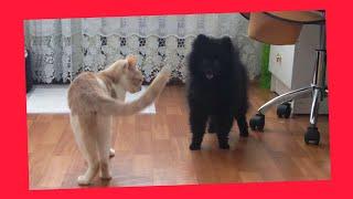 Шпиц и кошка! Бои без правил!(ММА)