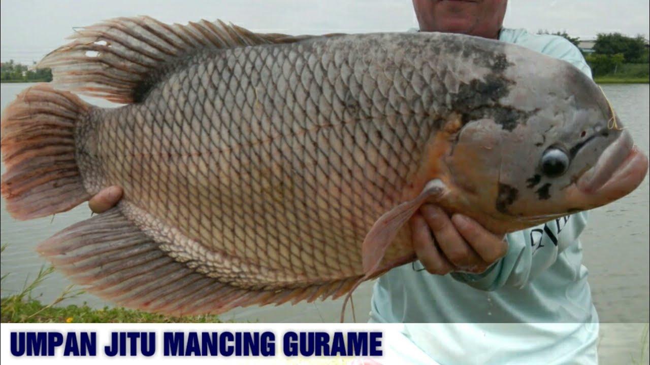 7 Umpan Mancing Ikan Gurame Paling Ampuh Youtube