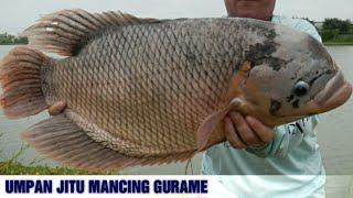 7 Umpan Mancing Ikan Gurame Paling Ampuh