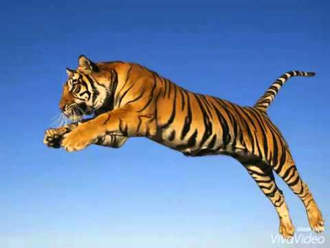 pictures of tigers and tiger cubs youtube