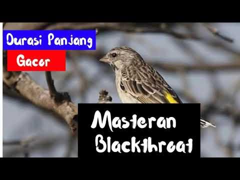 Masteran Burung Blackthroat