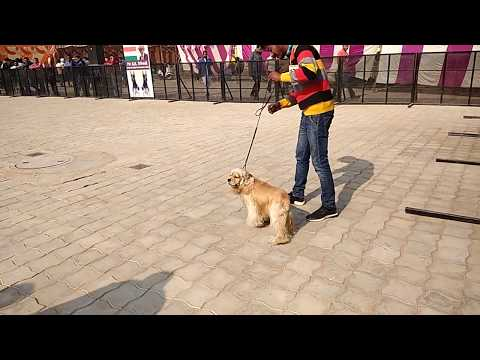 KNOW ABOUT BREEDS - Cocker Spaniel DOG SHOW At Ambala {INDIA} DOGGYZ WORLD