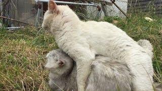 ことごとく交尾を仕掛けるオス白猫と人懐っこいメス白猫の動画