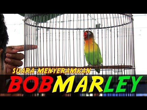 Suara Menyeramkan Love Bird KONSLET BOB MARLEY!!