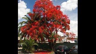 Plant ID: Illawarra Flame Tree (Brachychiton acerifolius)