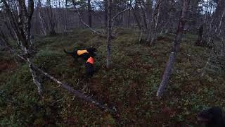 Willow Grouse hunting with my Gordon Setter`s
