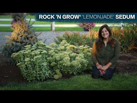 Planting Lemonjade Sedum // Garden Answer