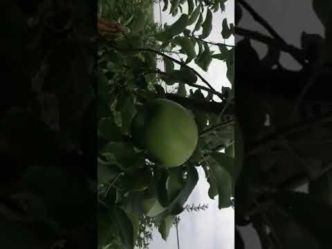 Реализуем яблоки сорт гренни смит с сада Крым