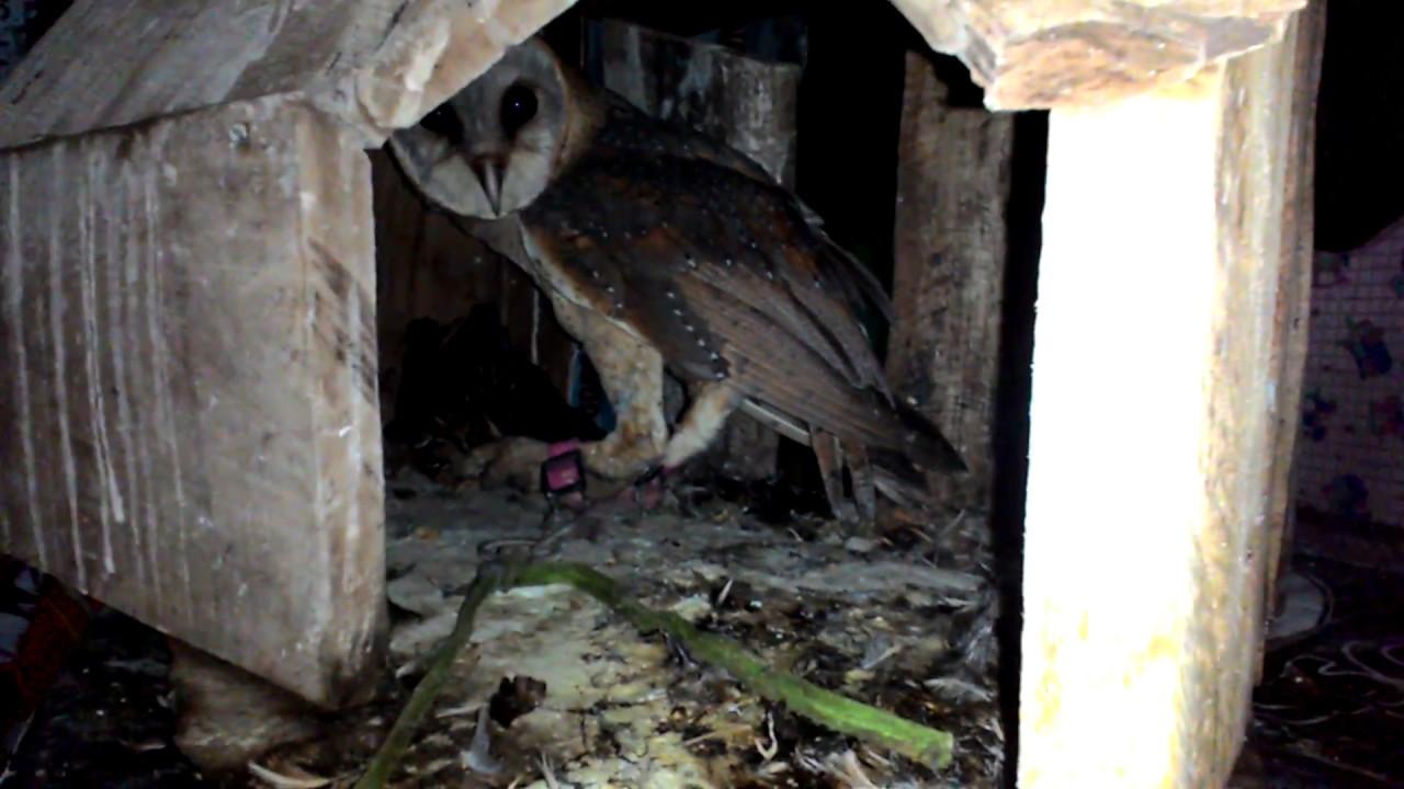Abang Mencoba Beri Makan Si Beta Bran Owl Tyto Alba Youtube